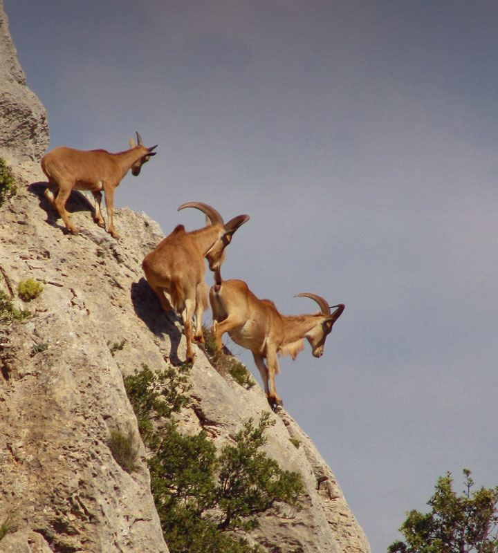 Barbary sheep in Puig Campana mountain