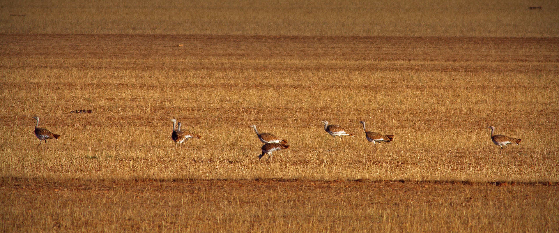 Great bustards in the steppe of La Mancha