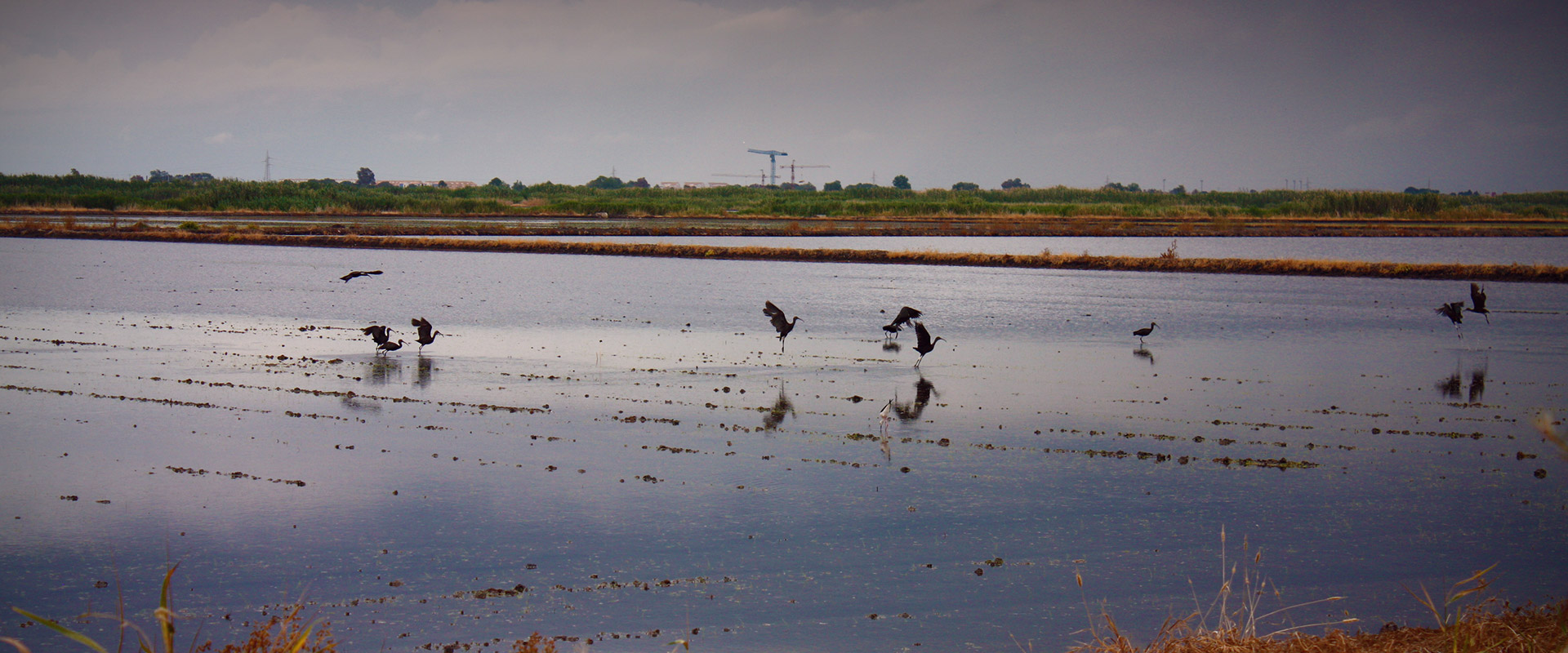 Wading birds in the Marjal de Pego Oliva