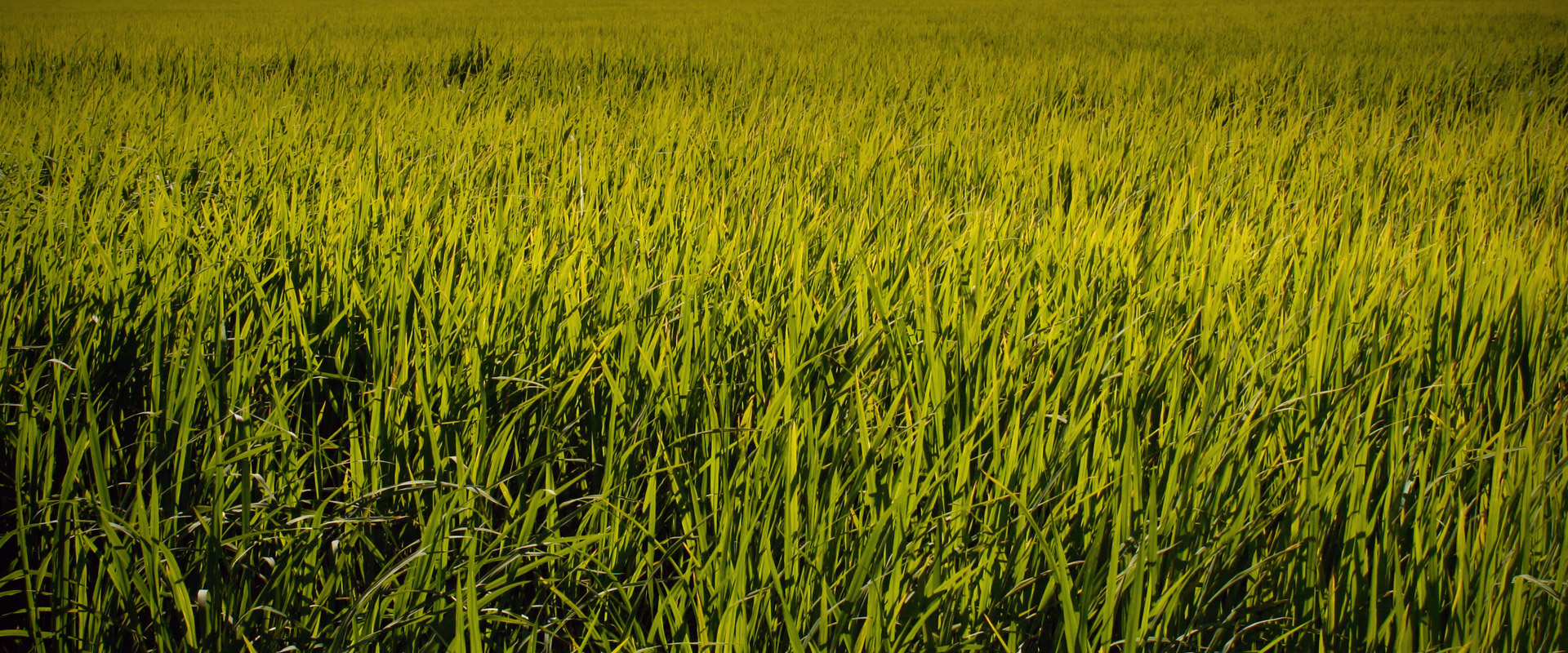 Rice field in Pego Oliva Marjal