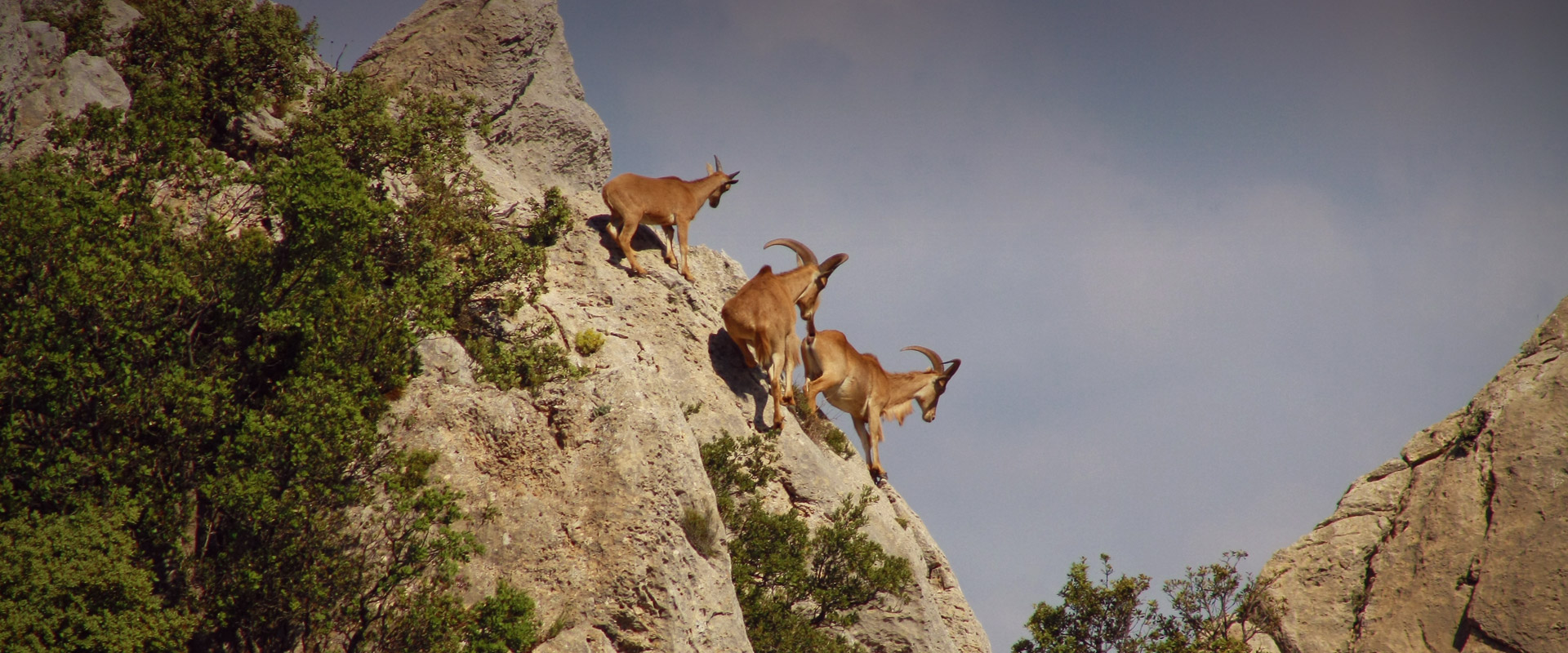 Barbary sheep on the mountain of Puig Campana