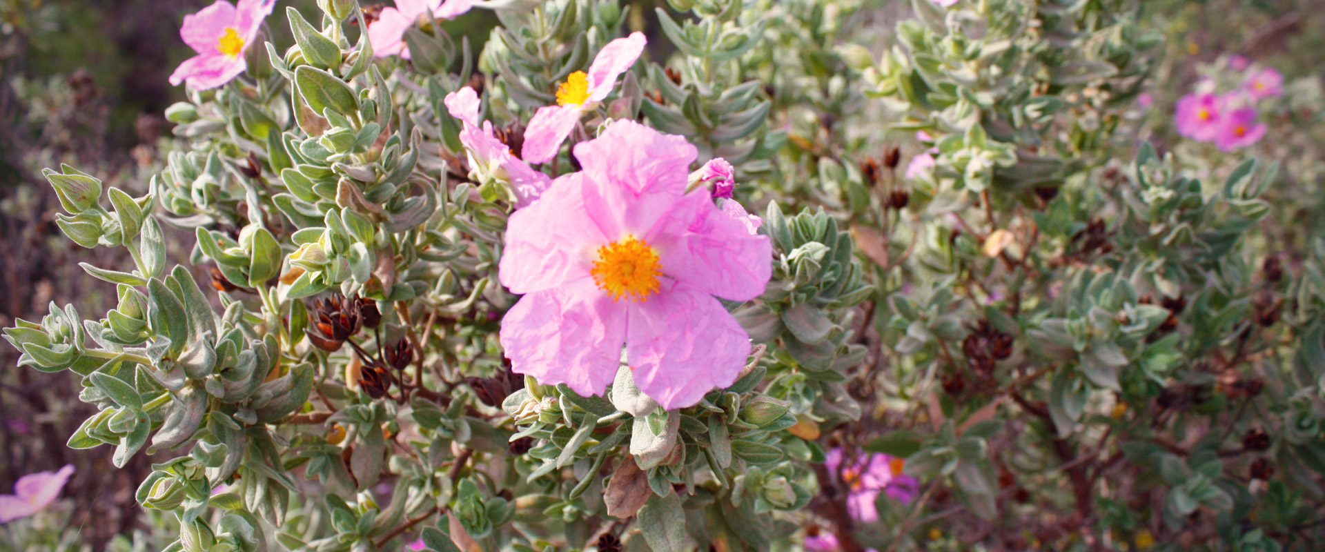 Rockrose in Xortà mountain