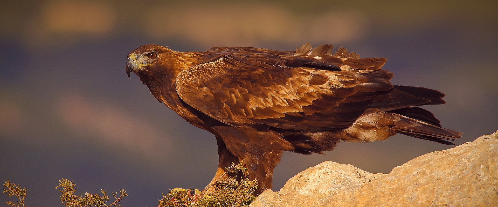 Birdwaching Alicante águila real