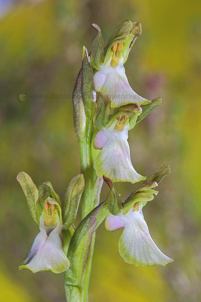 orchis Collina falvescens